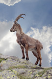 Steinbock - Fine Art prints