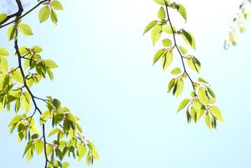 イヌシデの新緑と空