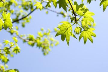 モミジバフウの新緑と空