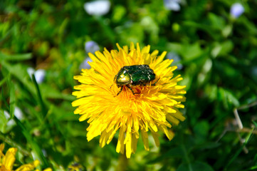 Green rose chafer (Cetonia aurata)