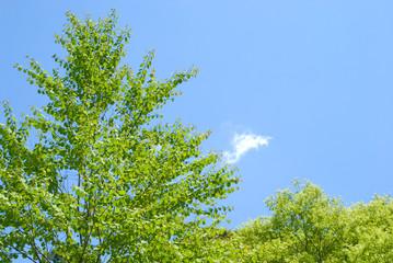 カツラの新緑と青空