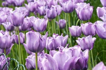 violet spring tulips