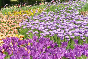 violet tulips on flowerbed