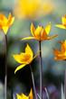 Yellow wild iris flowers