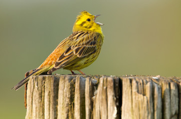 Yellowhammer singing on a pole