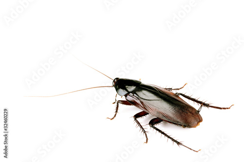 Cockroach isolated on white, body length 50mm