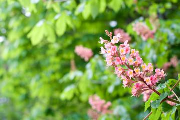 アカバナトチノキの花