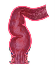 Human rectum, front view. 3D model isolated on whitre