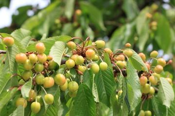 Cherries green on branch