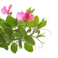 sweet pea plants