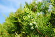 Thuja occidentalis - Lebensbaum