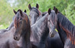 Four beautiful black horses
