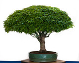 Acer palmatum Kiyohime als Bonsai