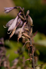 wilting hosta flower