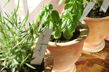 fresh potted basil