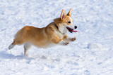Рembroke Welsh Corgi