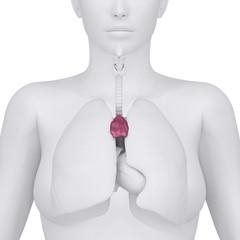 Female thymus and thorax abdominal organs - arterior view