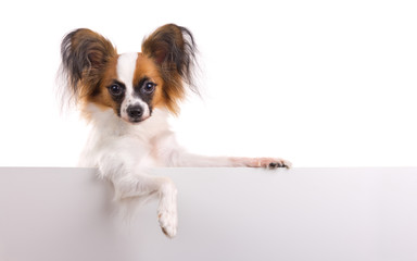 Young Papillon