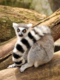Ring-tailed lemur is sitting on a tree trunk