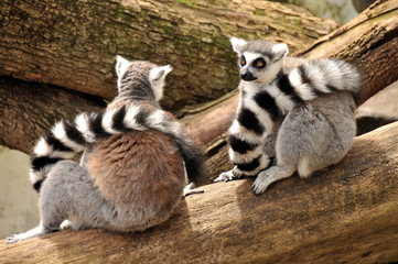 Two ring-tailed lemurs are sitting on a tree trunk