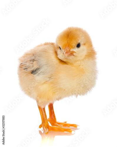 反思可爱的单个婴儿孤立宠物小的小鸡少许工作室年轻