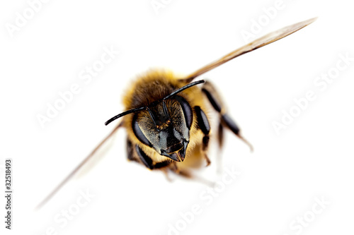 Western honey bee in flight, with sharp focus on its head - 32518493
