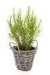 Fresh rosemary in cane basket over white background
