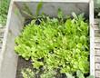 fresh organic green lettuce plants in a box