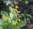 beautiful primula veris
