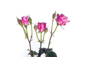Close up of a pink rose flower with buds