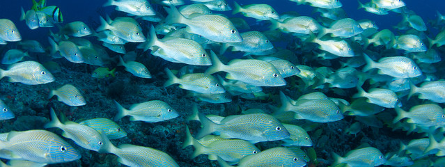 Banner View of a school of White Grunts.
