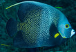 French Angelfish on a reef, picture taken in south east Florida.