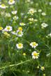 Kamille (Chamomilla Matricaria) viele Blüten und Pflanze