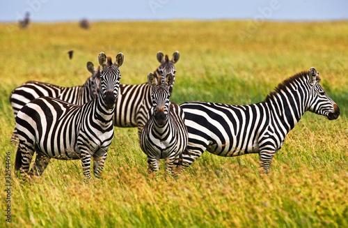 zebry-w-serengeti-parku-narodowym-tanzania