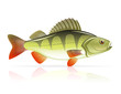 perch vector illustration
