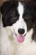 Young dog Border Collie looking and smiling with tongue lolling
