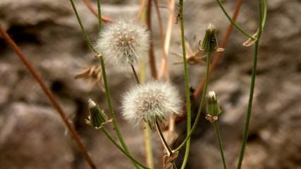 fiore della parietaria