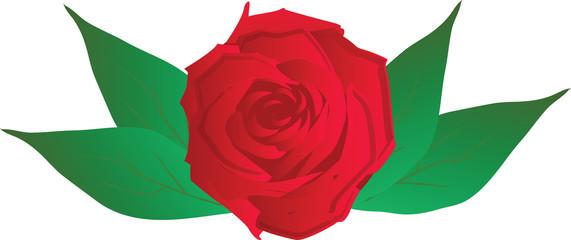 rosa in vettoriale