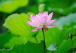 lotus bloom in the pond