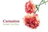 Fototapety Carnation