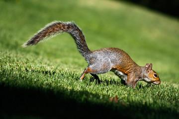 Tree Eichhörnchen in Kapstadt, Südafrika