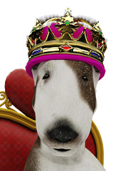 bull terrier the king dog portrat