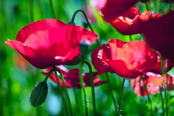 Ornamental Poppies