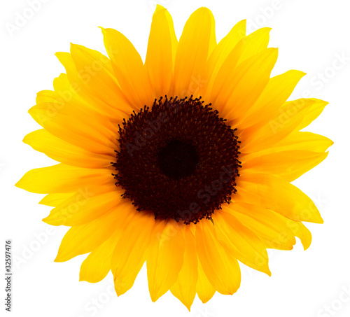 Fotobehang Zonnebloemen Sonnenblume mit Beschneidungspfad