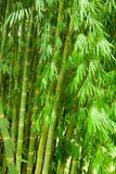 Fototapeta Bamboo tree