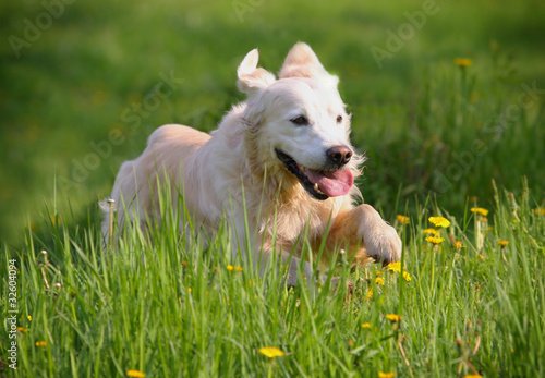retriever dog runs