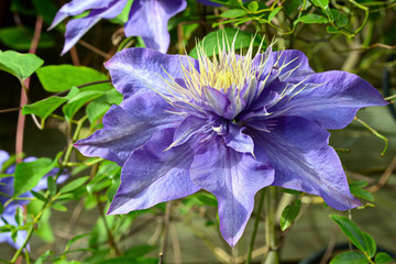 "Close up of Clematis ""Cezanne"""