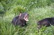 Tasmanian Devil snarling