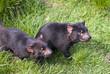 Tasmanian Devils prowling