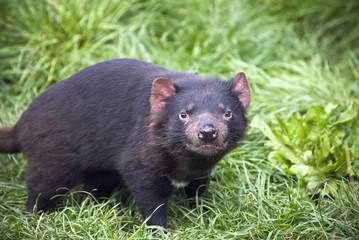 Tasmanian Devil stare